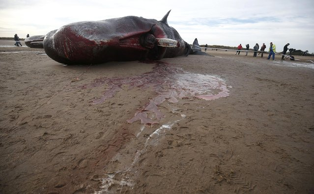 Two sperm whales lie on the sand after being washed ashore at Skegness beach in Skegness, Britain January 25, 2016. (Photo by Andrew Yates/Reuters)