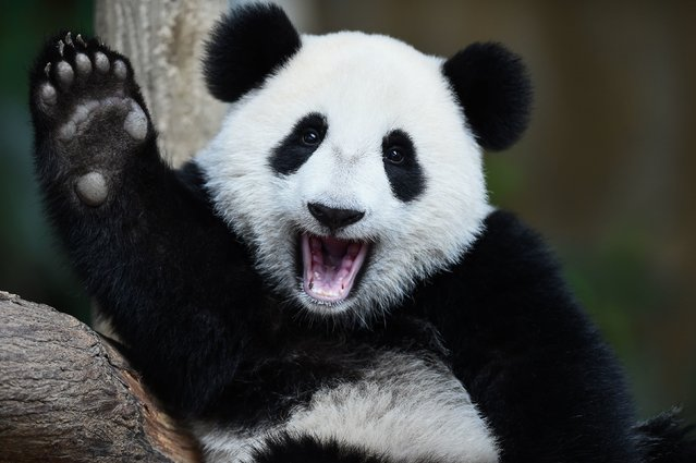 One-year-old female giant panda cub Nuan Nuan reacts inside her enclosure during joint birthday celebrations for the panda and its ten-year-old mother Liang Liang at the National Zoo in Kuala Lumpur on August 23, 2016. Giant pandas Liang Liang, aged 10, and her Malaysian-born cub Nuan Nuan, 1, were born on August 23, 2006 and August 18, 2015 respectivetly. (Photo by Mohd Rasfan/AFP Photo)
