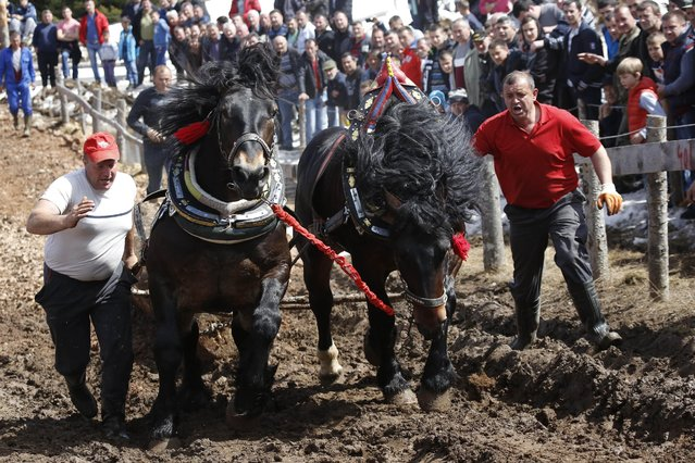 Bosnians encourage their horses as they pull logs up a the hill during competition in Bosnian town of Sokolac 50 kms west of Sarajevo, Bosnia,on Monday, April, 13, 2015. (Photo by Amel Emric/AP Photo)