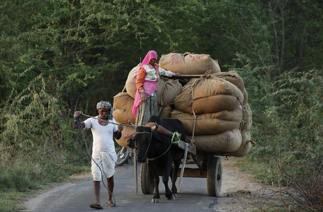 In this Wednesday, April 8, 2015 photo, an Indian farmer woman rides a loaded bullock cart homeward after a day's work in the field, on the outskirts of Ajmer, India. Keeping in mind the destruction of crops by unseasonal rainfall the past few weeks, Indian Prime Minister Narendra Modi on Wednesday announced a 50 percent raise in the compensation paid to farmers for crop damage. He also reduced the criteria of minimum damage to get compensation from 50 percent to 33 percent of total crop. (Photo by Deepak Sharma/AP Photo)