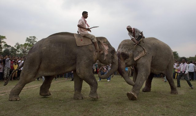 Mahouts make elephants fight during the Suwori festival in Boko about 75 kilometers (47 miles) west of Gauhati, India, Monday, April 20, 2015. Traditional elephant fights, elephant races, tug of war and dances mark this festival which coincides with the Assamese Rongali Bihu, or the harvest festival of the northeastern Indian state of Assam. (Photo by Anupam Nath/AP Photo)