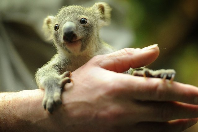 A baby koala is presented to the public for first time at Duisburg Zoo, Germany. (Photo by Rex Features)