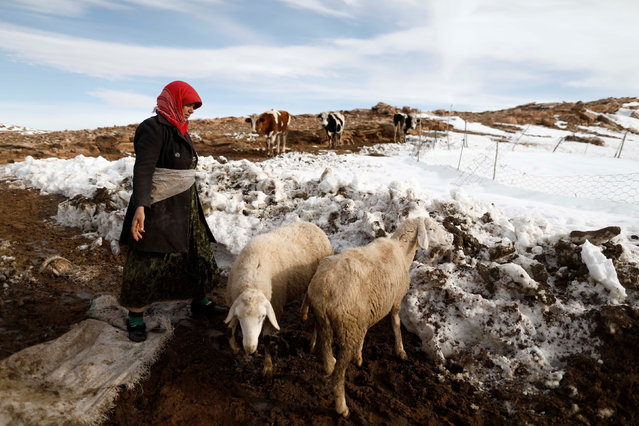 Fatima, 41, a mountaineer directs her sheep on the outskirts of Al Bayadh in the high steppe region of south western Algeria January 26, 2017. (Photo by Zohra Bensemra/Reuters)
