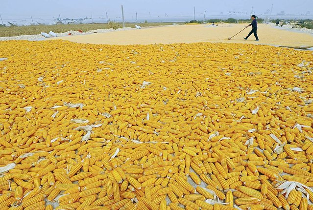 A farmer dries newly harvested corn cobs near her field in Zhuliang village of Qingzhou, Shandong province, in this September 27, 2013 file picture. (Photo by Reuters/China Daily)