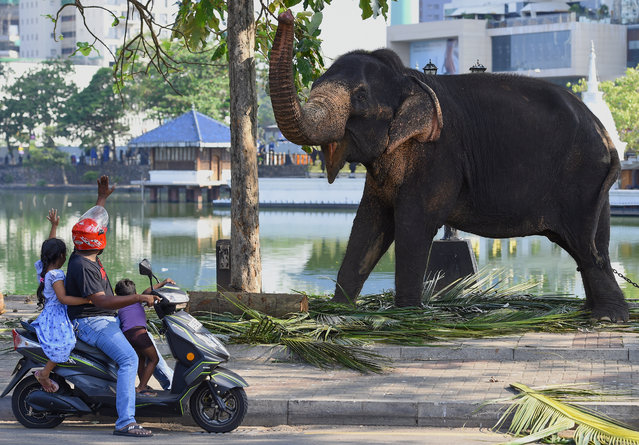 Commuters interact with an elephant as he rests in a public road ahead of the annual Perahera festival of the historic Gangaramaya Temple in Colombo on February 18, 2019. Some 50 elephants, most of them from the central area of Kandy along with thousands of traditional drummers, dancers, and monks have gathered in the Sri Lankan capital to participate in the city's biggest two-day annual Buddhist Navam procession, scheduled for February 18-19. (Photo by Ishara S. Kodikara/AFP Photo)