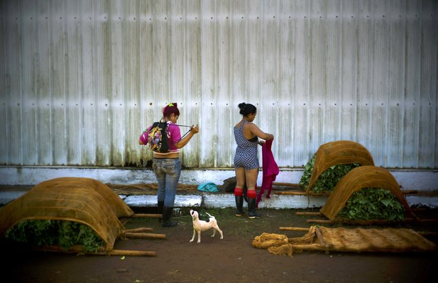 In this February 11, 2017 photo, workers who are responsible for handling freshly cut tobacco leaves, change into their street clothes at the end of their work shift at a state-run warehouse in Alquizar, in Cuba's western province Artemisa. (Photo by Ramon Espinosa/AP Photo)