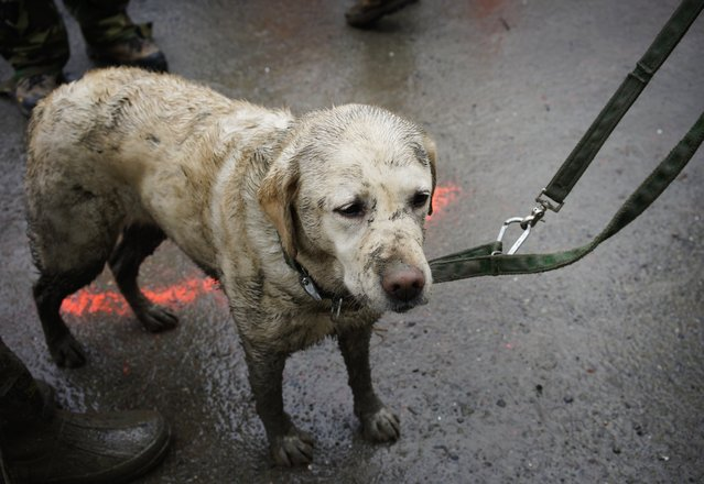 Rescue dog Tryon, muddied from the day's work, stands with his handler near the west side of the mudslide on Highway 530 near mile marker 37  in Arlington, Wash., on Sunday, March 30, 2014. Periods of rain and wind have hampered efforts the past two days, with some rain showers continuing today. Last night, the confirmed fatalities list was updated to 18, with the number of those missing falling from 90 to 30. (Photo by Rick Wilking/AP Photo)