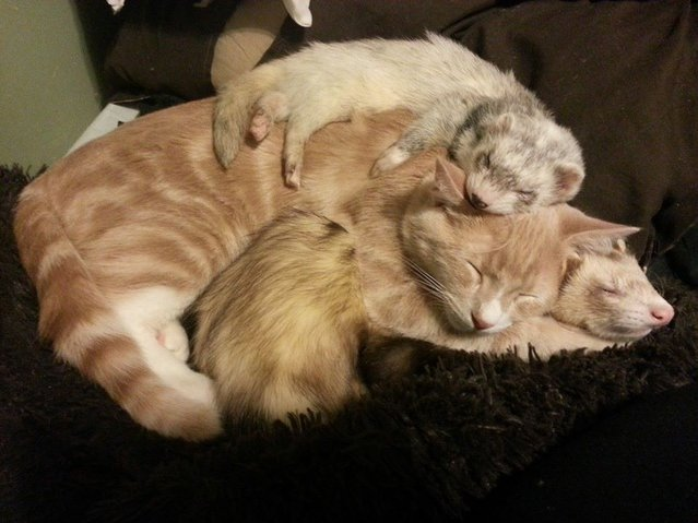 Unlikely Friendship Of A Kitten And Ferrets