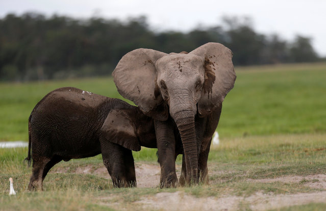 An elephant breastfeeds its young one at the Amboseli National Park, southeast of Kenya's capital Nairobi, April 25, 2016. (Photo by Thomas Mukoya/Reuters)