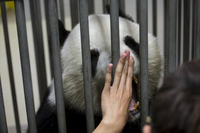A veterinarian examines giant panda Le Le, 10, during a routine health check at the Hong Kong Ocean Park, China June 30, 2015. (Photo by Tyrone Siu/Reuters)