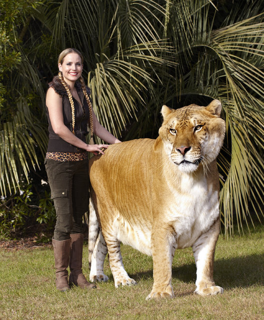 Hercules, the largest living cat (via Guinness World Records 2012) – an adult male liger (lion x tigress hybrid) currently housed at Myrtle Beach Safari, a wildlife reserve in South Carolina, USA. In total length, he measures 3.33 m (131 in), stands 1.25 m (49 in) at the shoulder, and weighs 418.2 kg (922 lb). (Photo by Jamers Ellerker/GuinnessWorld Records)