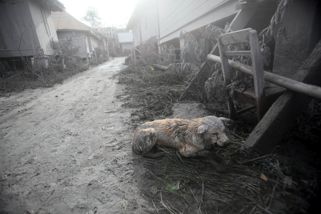 An apparently injured dog covered in volcanic ash crouches down in an empty village after it was abandoned following the eruption of Mt. Sinabung in Gamber village, North Sumatra, Indonesia, Sunday, May 22, 2016. (Photo by Binsar Bakkara/AP Photo)