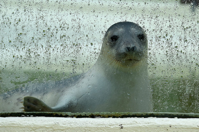 """Gray seal """"Moneypenny"""" watches the newcomer being fed in the neighboring tank through the rain-streaked glass in the breeding station in Friedrichskoog, Germany, 23 May 2016. A seal pup found on 11 May 2016 at the Olanddamm dam, may now leave quarantine and move into the breeding station as the first guest of the season. (Photo by Carsten Rehder/EPA)"""