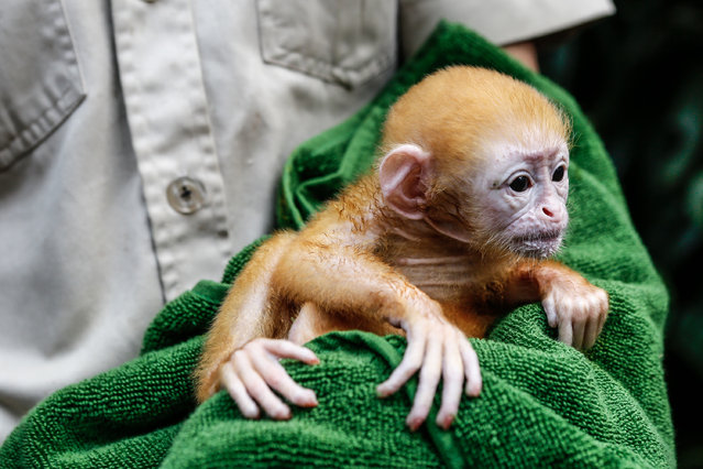 A zookeeper handles a week-old newborn baby Langur at Bali Zoo on June 19, 2014 in Gianyar, Bali, Indonesia. Javan Langurs are found in Java, Bali and Lombok in Indonesia and are listed as a threatened species due to hunting, agricultural expansion and habitat loss. (Photo by Putu Sayoga/Getty Images)