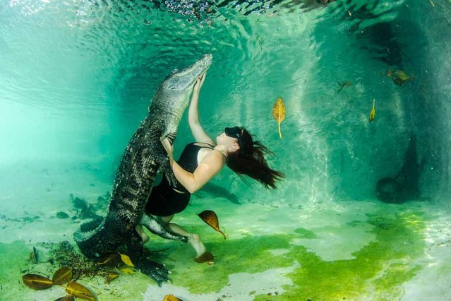 Assistant photographer Adriana Canargo dives with a wild alligator. (Photo by John Chapa/Barcroft Media)