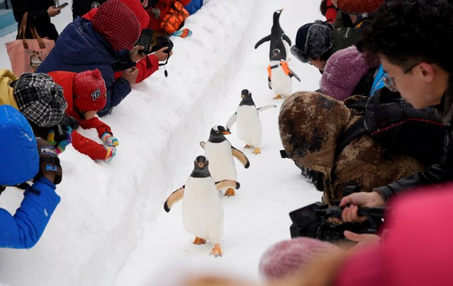 Penguins, that are brought to an outdoor area for an event, walk on snow during the Harbin International Ice and Snow Sculpture Festival, near the Harbin Polarland aquarium in Heilongjiang province, China on January 7, 2020. (Photo by China Daily via Reuters)