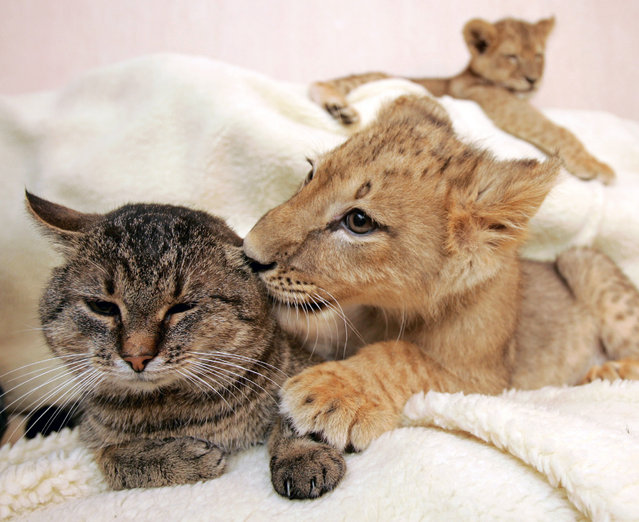 A lion cub caresses a domestic cat as another lion rests in a private house in Kharkov, about 450 km (279.4 miles) northeast of Kiev December 15, 2005. (Photo by Gleb Garanich/Reuters)