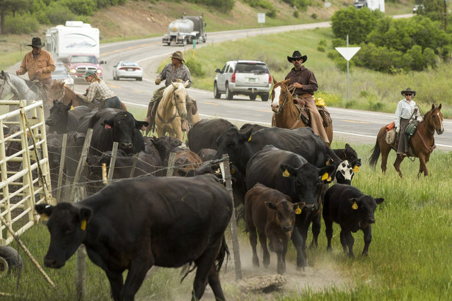 Cowboys (L-R) Grant Gunn, Jody Mangus, Mead Gonzalez, and Georgie Dittmar push cattle through a gate after pushing them across Highway 160 near Ignacio, Colorado June 12, 2014. The land where the cattle graze is leased from the Forest Service by third-generation rancher Steve Pargin. Several times a year, he and a crew led by his head cowboy, David Thompson, spend a week or more herding cattle from mountain range to mountain range to prevent them from causing damage to fragile ecosystems by staying in a single area too long. (Photo by Lucas Jackson/Reuters)