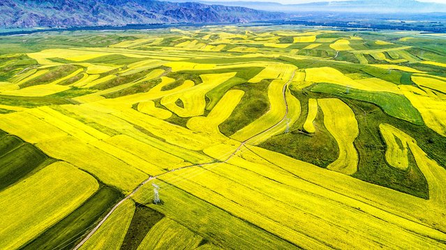 Aerial photo shows the view of cole flowers and wheat in Ili Kazakh Autonomous Prefecture, northwest China's Xinjiang Uygur Autonomous Region, July 9, 2017. A total of 200,000 mu (about 3,2948 acres) of blooming cole flowers here attracted many tourists. (Photo by Xinhua/Barcroft Images)