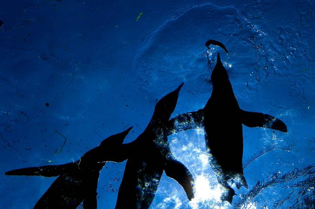 Penguins catch a fish in the zoo in Hanover, Germany, 08 August 2014. (Photo by Peter Steffen/DPA)