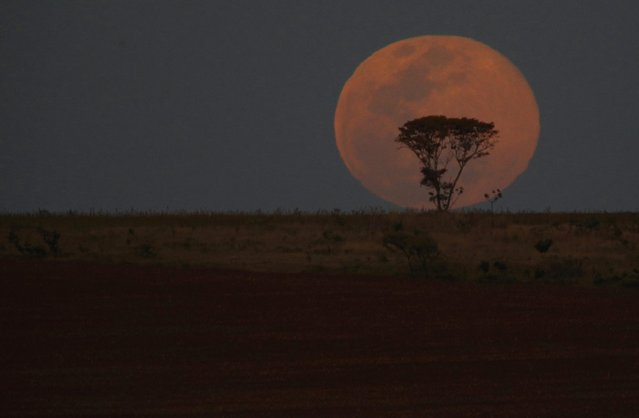 A supermoon is pictured behind a tree as it rises, in Brasilia, August 10, 2014. The astronomical event occurs when the moon is closest to the Earth in its orbit, making it appear much larger and brighter than usual. (Photo by Ueslei Marcelino/Reuters)