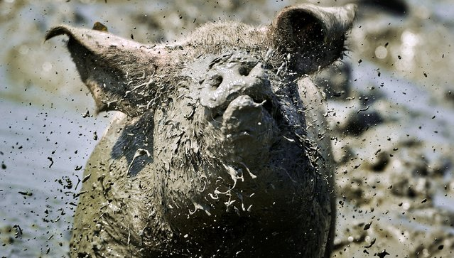 A pig lying in the mud of the 'best mud pool' of the Netherlands, in Buren, on July 26, 2012. This particular mud pool was chosen by the Dutch animal welfare organization 'Wakker Dier' ('Awake Animal') because of the perfect size, dept and muddy-ness, a perfect place for a pig to cool off during warm summer days. (Photo by Koen Van Weel/AFP)