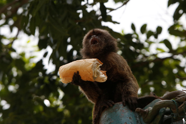 A monkey is pictured eating a sandwich at the local zoo in Caracas, Venezuela July 12, 2016. (Photo by Carlos Jasso/Reuters)