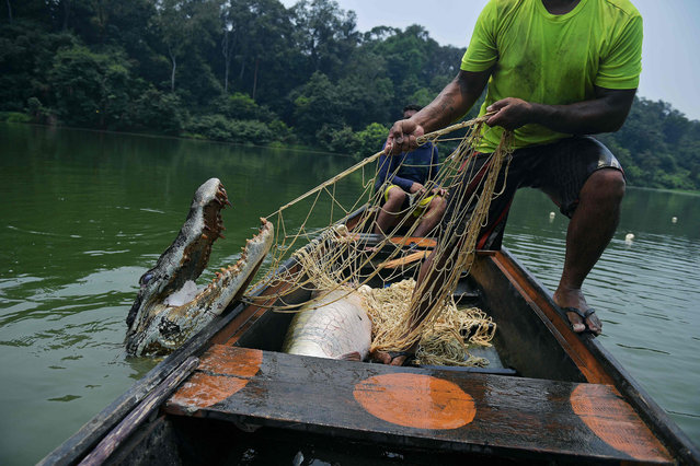 Fishermen pull up a live 2.5 metre crocodile in their net in the Western Amazon region, Brazil on September 20, 2017. The fishermen were fishing for a large river fish called Arapaima but sometimes crocodiles become stuck in the nets as well. (Photo by Carl de Souza/AFP Photo)