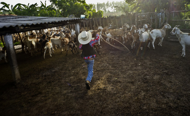 In this July 29, 2016 photo, 5-year-old cowboy David Obregon works to lasso a goat for milking at his parents farm in Sancti Spiritus, central Cuba. (Photo by Ramon Espinosa/AP Photo)