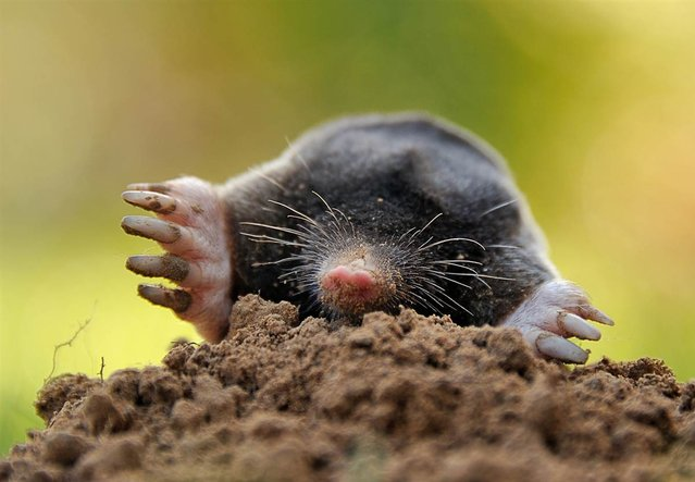 A picture taken on September 15, in Godewaersvelde, northern France, shows a mole burrowing through dirt. (Photo by Philippe Huguen/AFP Photo)