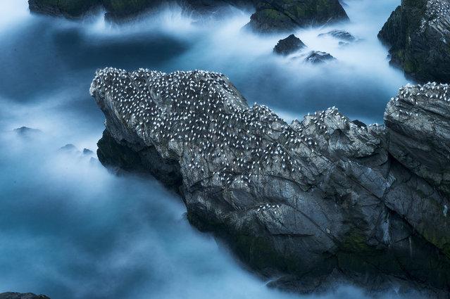 Hundreds of gannets rest on a cliff, 2014, in Shetland, Scotland. (Photo by Richard Shucksmith/Barcroft media)