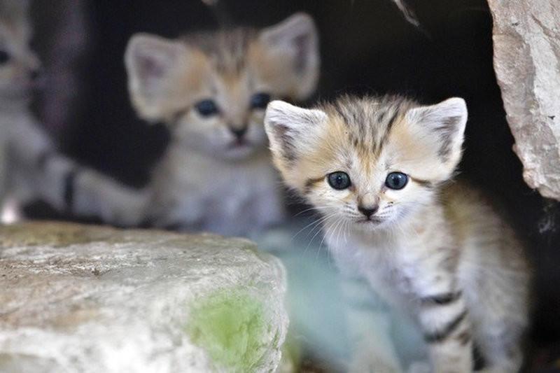 "Rare Sand Kittens in Park ""Safari"""
