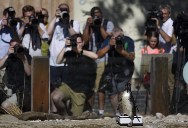 A Humboldt penguin stands on weighing scales whilst being photographed by members of the press during a photocall at the annual weigh-in at London Zoo in London, Britain, 24 August 2016. Every animal that is in the zoo is weighed and measured and the statistics recorded so the data can be shared with zoos across the world. (Photo by Hannah McKay/EPA)