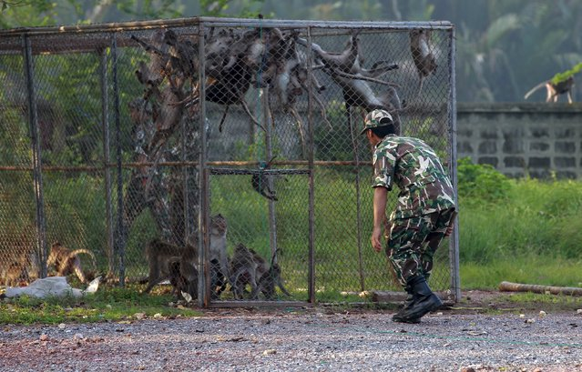 A Thai wildlife department official herds long-tailed macaque monkeys to a separate cage at a village in Bangkok, Thailand, September 21, 2015. About 80 long-tailed, mischievous, long-tailed macaque monkeys will be relocated from a community outside Thailand's capital and  released into the wild and preservation areas. (Photo by Chaiwat Subprasom/Reuters)