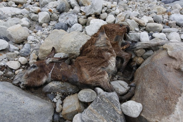 A mule which died during a previous K2 base camp trek lies on the stone-covered Baltoro glacier in the Karakoram mountain range in Pakistan September 9, 2014. (Photo by Wolfgang Rattay/Reuters)