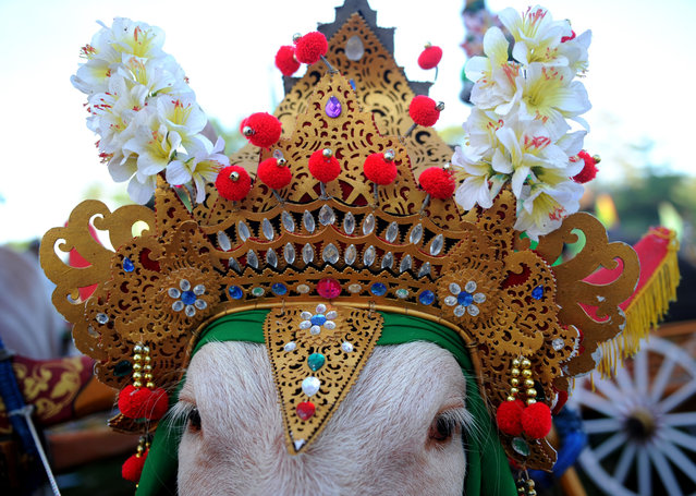 "his picture taken on July 31, 2016 shows a the ornamental headdress of a bull about to compete in a ""Makepung"" or bull race with domestic water buffaloes in Jembrana district on Bali island. Wearing crowns and colourful horn coverings, the buffaloes haul wooden carts at high speed past paddy fields on Bali, with the racers aboard cracking whips in a bid to push their beasts on to victory. (Photo by Sonny Tumbelaka/AFP Photo)"