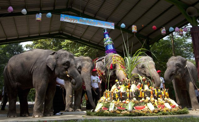 A female elephant called Mo Mo celebrates her 61st birthday at Yangon's Zoological garden Sunday, October 19, 2014 in Yangon, Myanmar. The 61-year old pachyderm originally from Myanmar's eastern Kayah state was brought to the zoo in 1961 when she was 7 years old. Mo Mo is one of the most popular animals in the more than 100-year-old zoo as children usually enjoy her weekly performances. (Photo by Khin Maung Win/AP Photo)