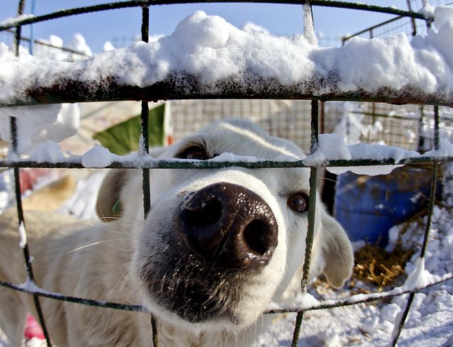A stray dog peers through a fence at a shelter in Glina, Romania on January 30, 2012. (Photo by Vadim Ghirda/Associated Press)