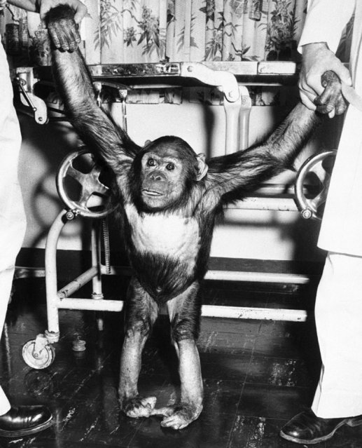 America's earth-orbiting chimpanzee, gets a pair of helping hands as he tries out his land legs at Kindley Air Force Base in Bermuda, November 30, 1961. Enos was brought to the base on a destroyer after recovery of the capsule in which he was orbited around the earth two times . He is scheduled to be flown back to Cape Canaveral December 1. (Photo by John Rooney/AP Photo)