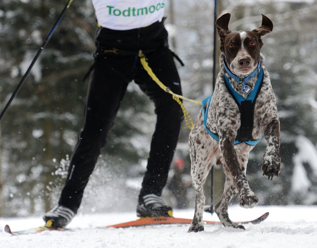 A dog is pictured on February 23, 2013 during an international dog sled race in Todtmoos, Germany. (Photo by Patrick Seeger/AFP Photo)