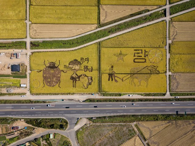 """In an aerial photo taken on October 7, 2020 """"rice art"""" is displayed in a rice field in Suncheon. The """"rice art"""" is part of an annual promotional event which required the planting of different types of rice to create images in the crop when viewed from above. The image depicts various animals including local mascots; a crane and a fish, and a ladybird as a symbol of organic farming practice. (Photo by Ed Jones/AFP Photo)"""