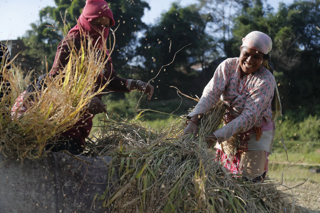 """Nepalese farmers thresh paddy after harvest in Lalitpur, Nepal, Friday, October 16, 2020. Oct. 16 is marked annually as World Food Day. The theme for 2020 is """"Grow, nourish, sustain. Together. Our actions are our future"""". (Photo by Niranjan Shrestha/AP Photo)"""