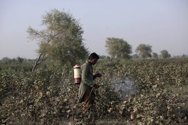 A man sprays pesticides on a cotton field in Meeran Pur village, north of Karachi September 26, 2014. (Photo by Akhtar Soomro/Reuters)