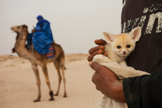 A few weeks old and not yet weaned, this wild fennec pup is held by a local man who caught it together with its siblings by digging them out from their den. By exposing it on a famous camel trek site for tourists, he hopes to either sell it or to get paid for pictures of it. (Photo by Bruno D'Amicis/Fritz Pölking Prize/GDT EWPY 2015)