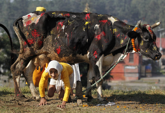 A young Hindu priest crawls under a cow as part of worship rituals during Tihar festival in Kathmandu, Nepal, Sunday, October 30, 2016. Cows are considered sacred to Hindus and are worshipped during Tihar festival, one of the most important Hindu festivals dedicated to the Goddess of wealth Laxmi. (Photo by Niranjan Shrestha/AP Photo)