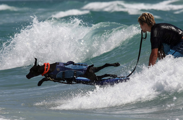 Gator jumps off the surfboard after his ride with volunteer Mike Musso. (Photo by Taylor Jones/The Palm Beach Post)