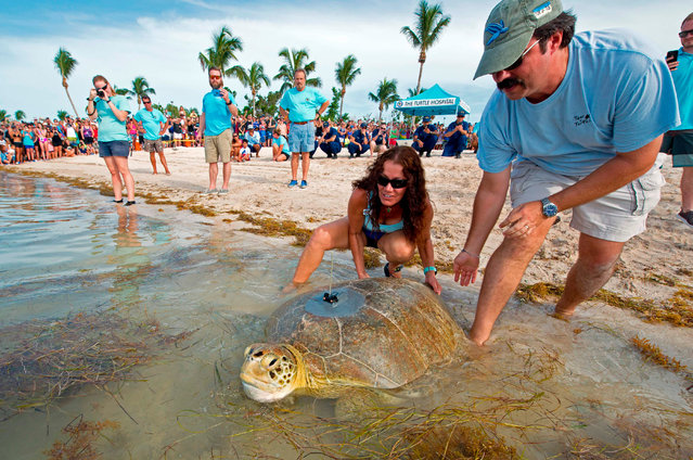 """In this image released by the Florida Keys News Bureau, Dan Evans (R) of the Sea Turtle Conservancy, and Bette Zirkelbach (C), manager of the Turtle Hospital, give """"Little Money"""" a push into the Atlantic Ocean on July 20, 2018, in Marathon, Florida. The female green sea turtle was one of two reptiles released Friday off the Florida Keys to become part of the """"Tour de Turtles"""", that features online tracking of 17 sea turtles that have been or will be released off Florida and in the Caribbean. (Photo by Andy Newman/AFP Photo)"""