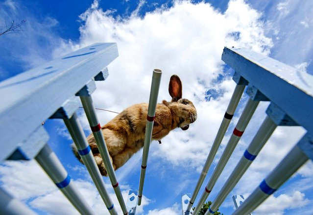 """Rabbit """"Little"""" jumps during the Kaninhop (rabbit-jumping) competition in Weissenbrunn vorm Wald, Germany, on September 1, 2013. Competitors take part in three different categories with an obstacle height ranging between 25 and 40 centimeters. (Photo by Jens Meyer/Associated Press)"""