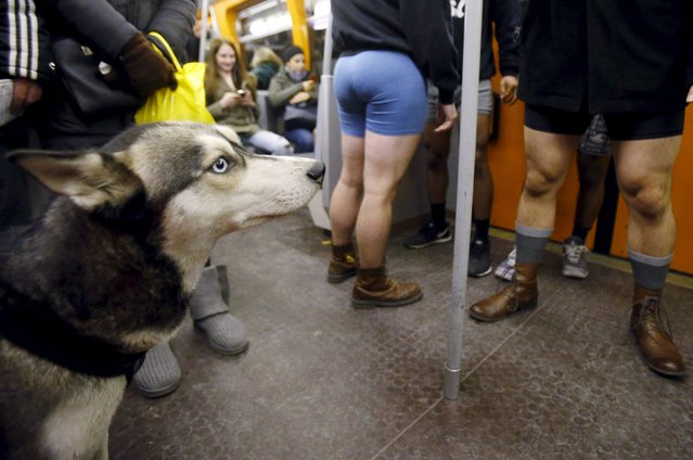 A dog is seen on the train near people taking part in the 'No Pants Subway Ride' in Vienna, Austria, January 10, 2016. (Photo by Heinz-Peter Bader/Reuters)