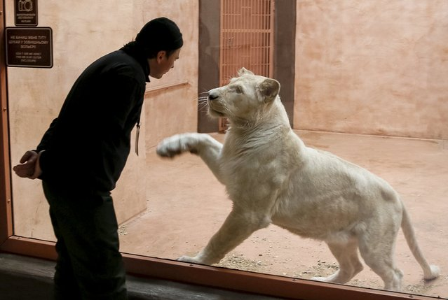 "A staff interacts with a white lioness in a private zoo called ""12 Months"" in the town of Demydiv, Ukraine, January 13, 2016. (Photo by Gleb Garanich/Reuters)"